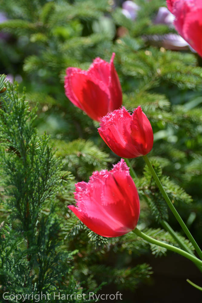 Tulipa 'Burgundy Lace'