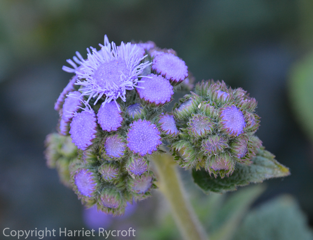 Friday Flora – Ageratum houstonianum 'Timeless Mixed'
