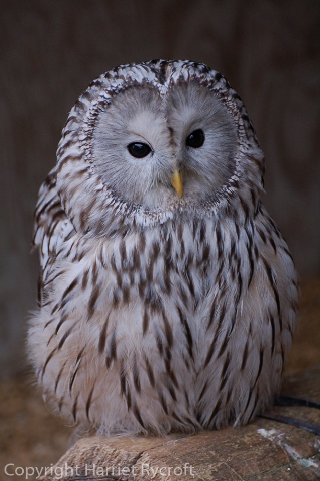 Archie the Ural owl at Batsford Falconry, Glos. A Protea laurifolia which eats rodents.