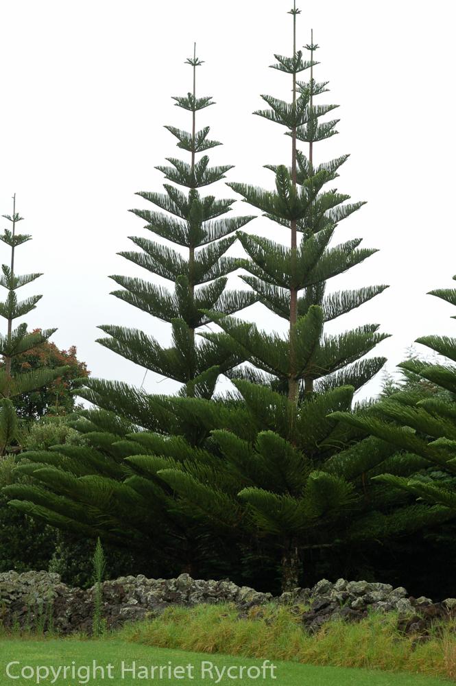 Friday Flora – Araucariaheterophylla