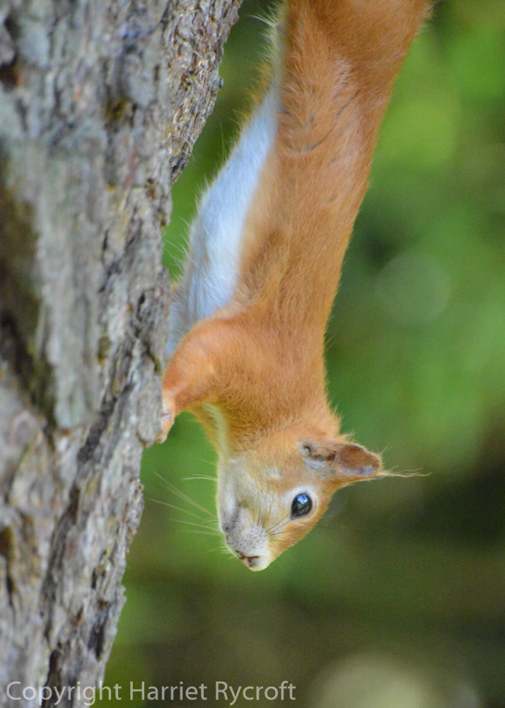 Dear little red squirrel planning to pillage Proteas.