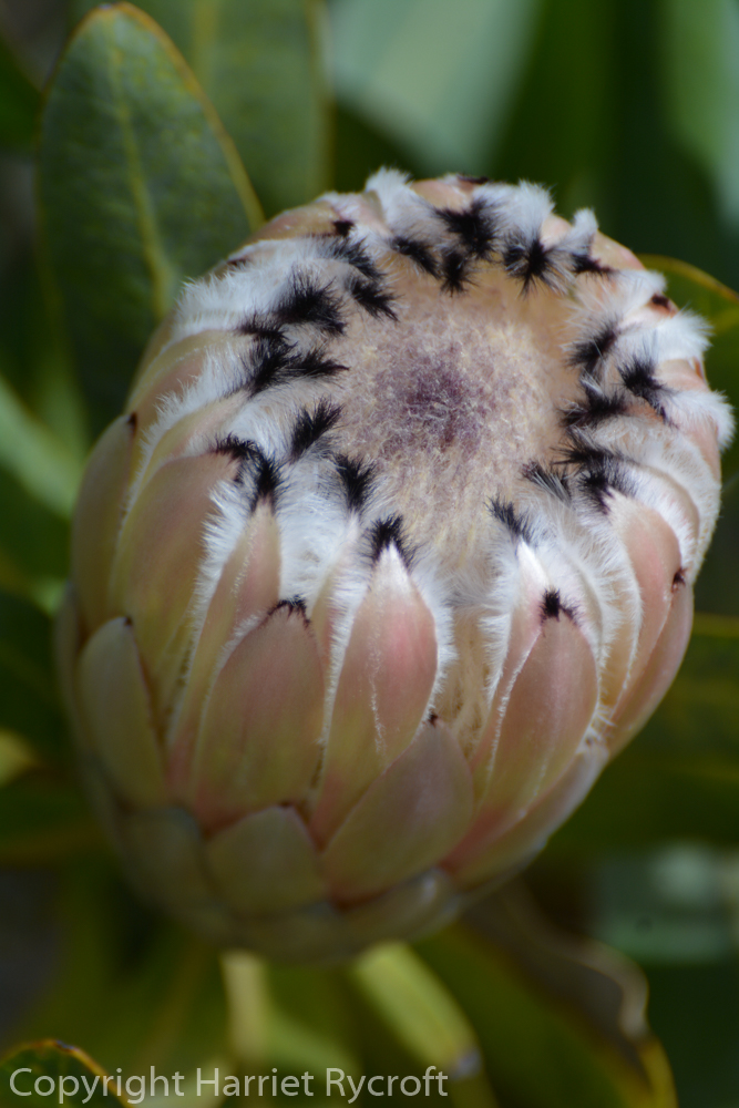 Friday Flora – Protea laurifolia