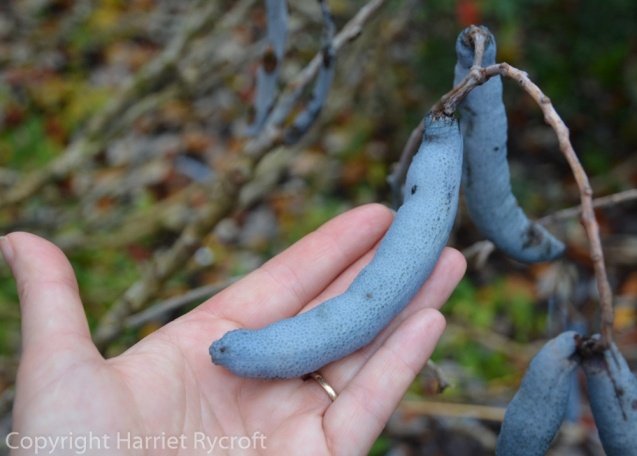 Dead man's fingers (Decaisnea fargesii). Tom Lehrer would have approved.