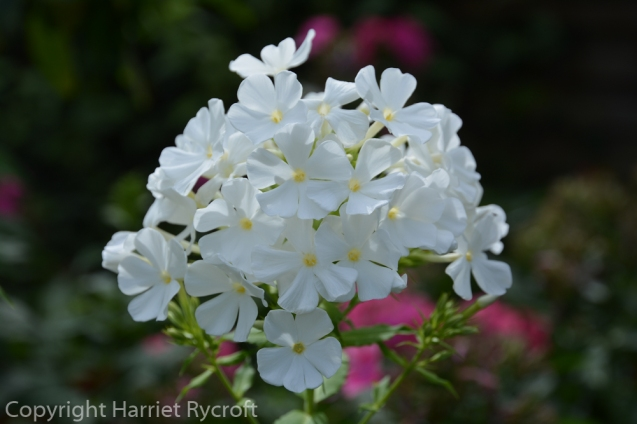 Phlox paniculata 'Fujiyama', this one's still visible well after sunset.
