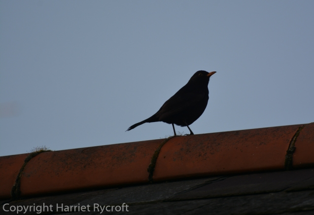 Blackbird telling everyone it's time to go indoors