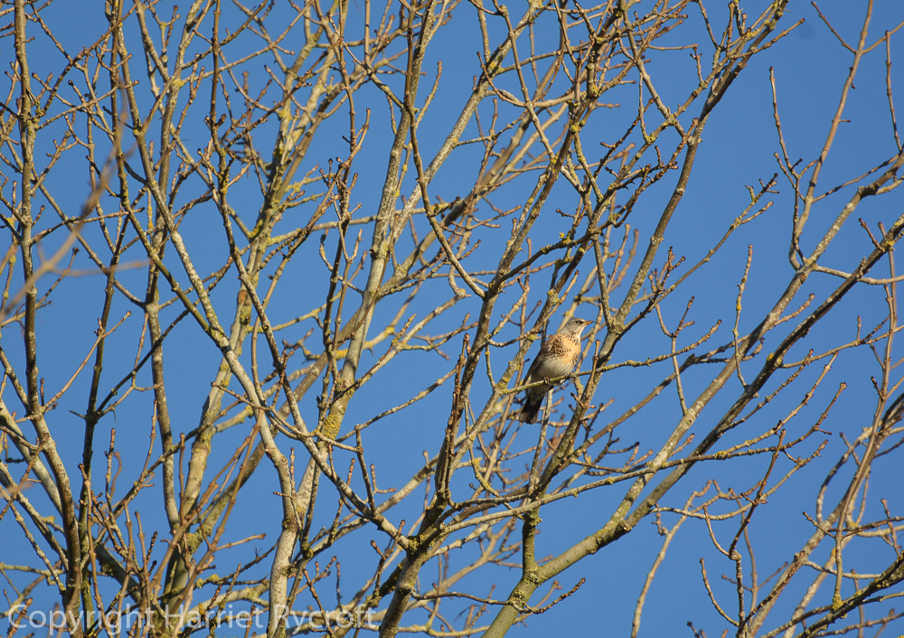 Last fieldfare in the ash tree. Looking at me with suspicion.