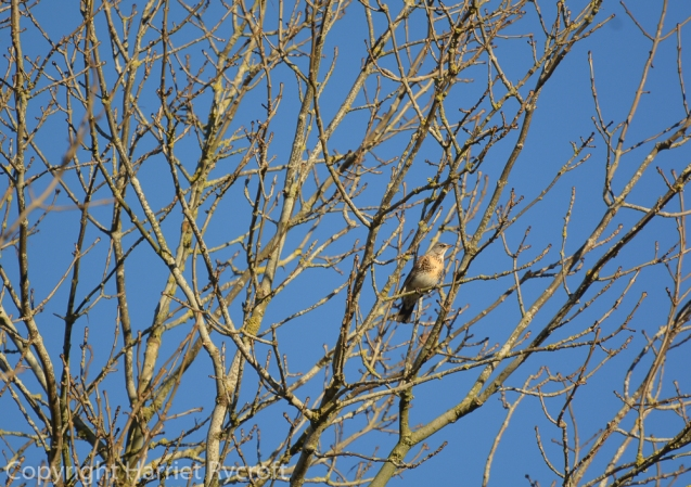 Last fieldfare in the ash tree. Looking at me with suspicion.