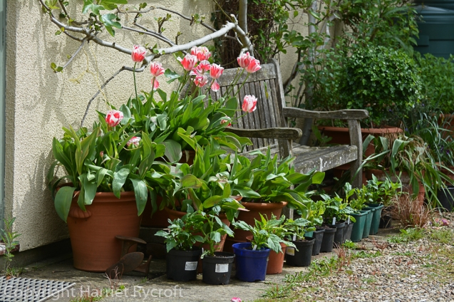 Dahlias lined up outside the garage to grow on among the last of the tulips in May