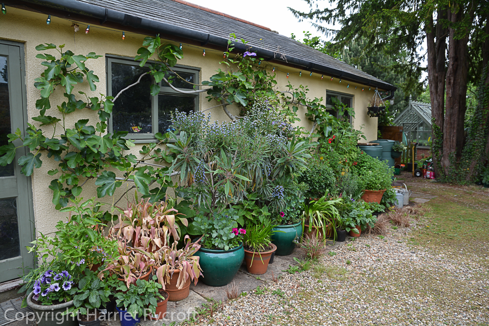 Early June, the Echiums & salvias have had their fleece off for a while. Agapanthus etc have been brought out and tucked between them to harden off.