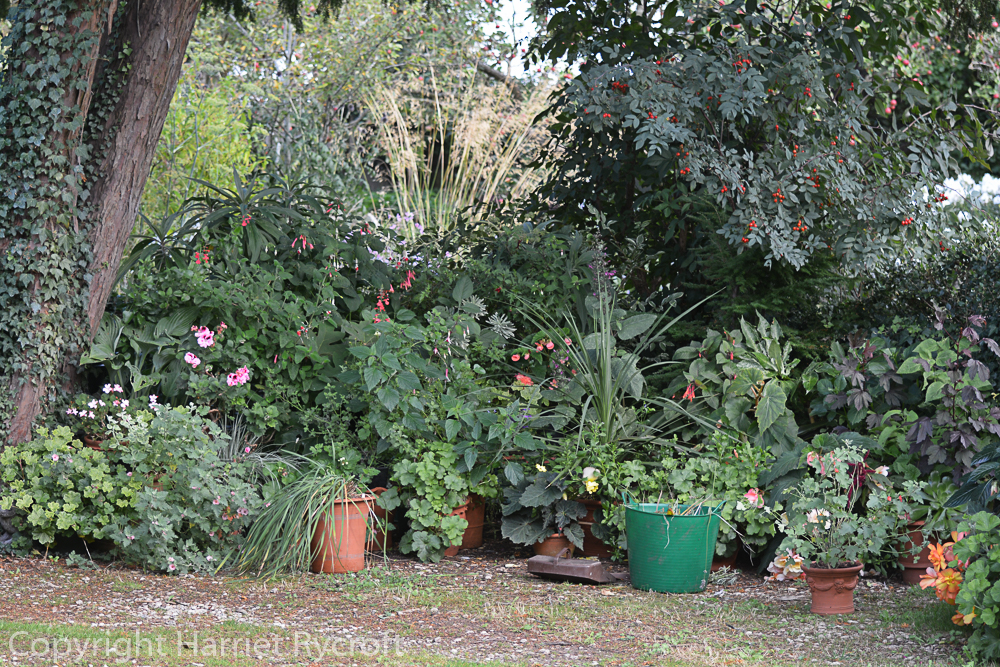 Every now and then I have to make adjustments to a display. Here some of those wretched super-slugs had got into the dahlias, so I had to pull some plants out and have a good slug hunt and tidy up.
