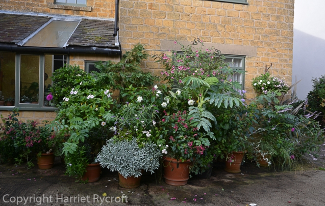 Last day of October, I have started to take smaller pots into shelter, precious plants have been dug out and/or propagated