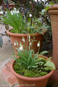 Snowdrops are great for early spring plantings - I did these for Whichford Pottery in 2011