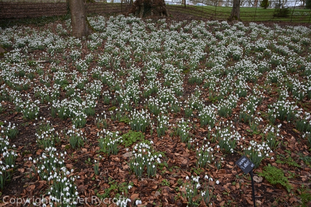 Galanthus galore well-labelled at Colesbourne.