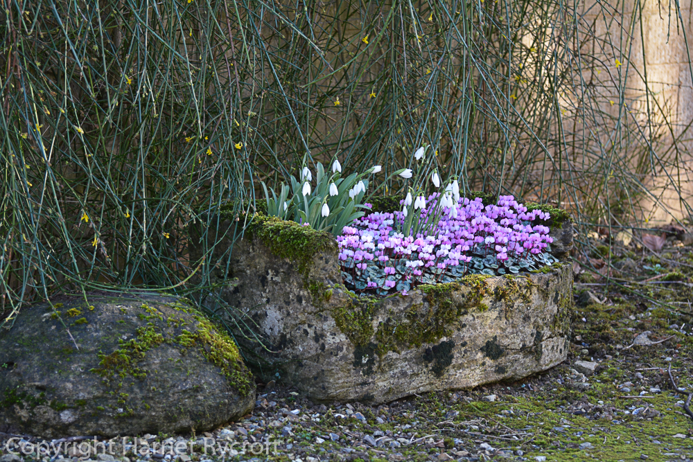 Lovely stone trough planted at Colesbourne Park