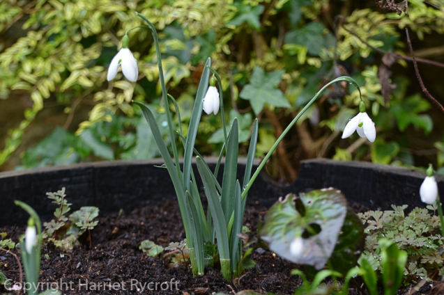 Galanthus 'Galatea', the first of my Colesbourne-bought snowdrops to come up in the half-barrel this year.