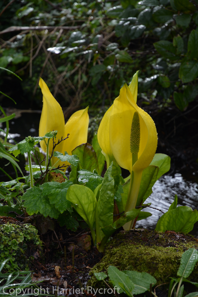 Friday Flora – Lysichiton americanus