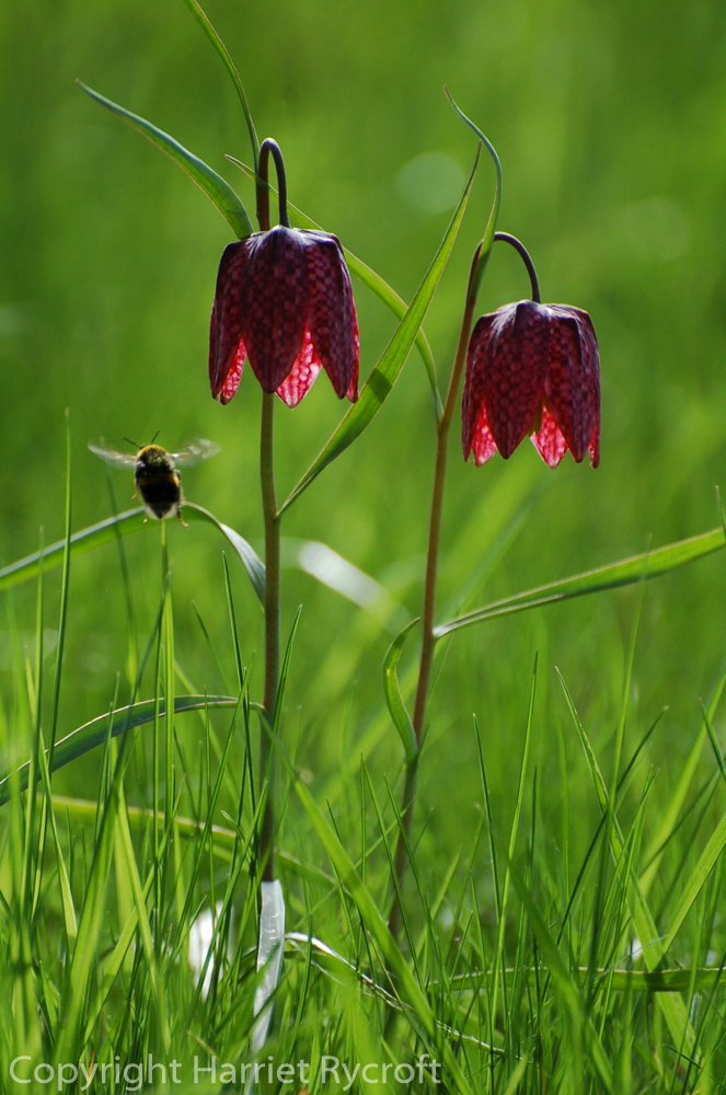 Friday Flora – Fritillaria meleagris