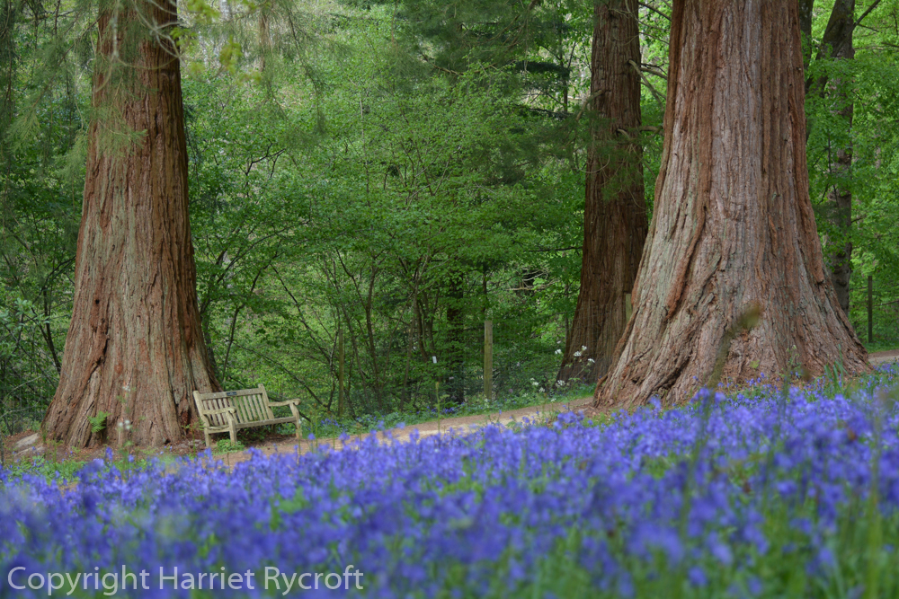 Wakehurst – walking on a bluebell planet