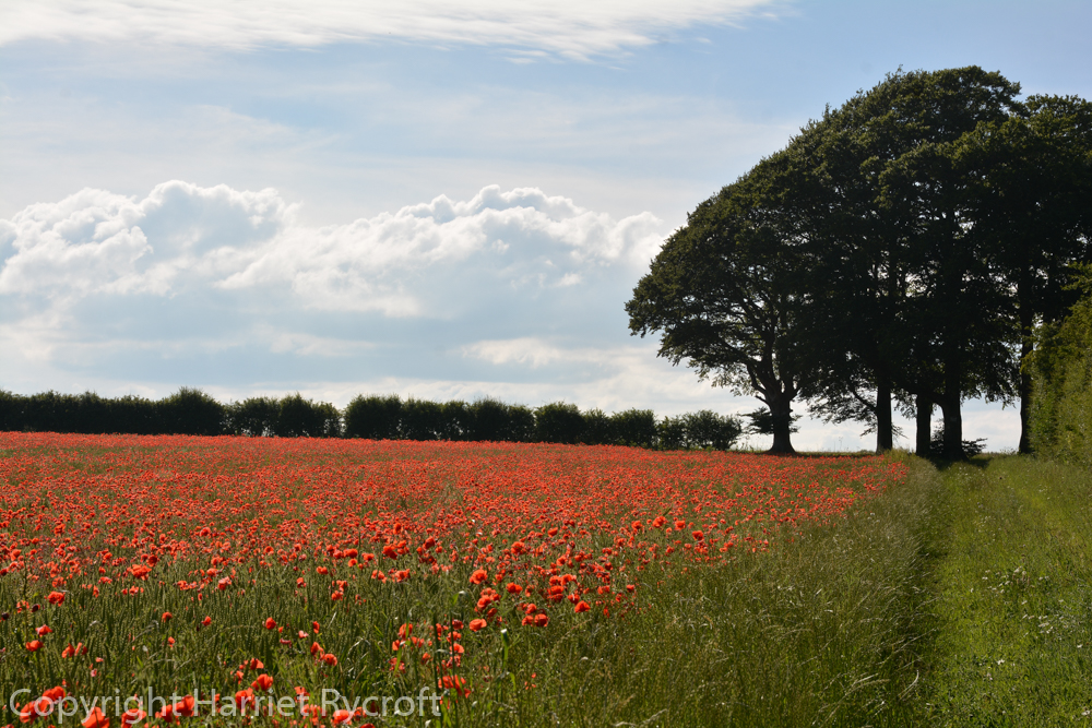 Friday Flora – Papaver rhoeas, the field poppy