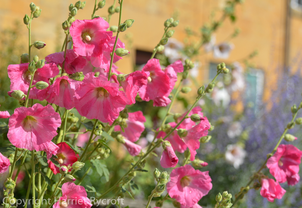 Friday Flora – Jolly Hollyhocks, Alcea rosea