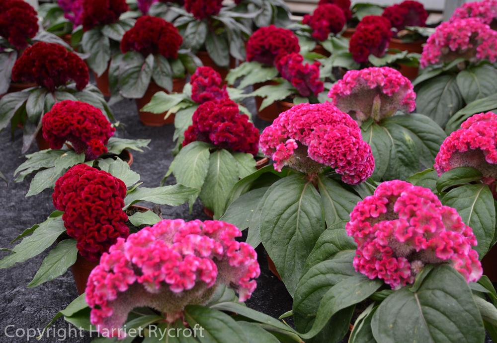 FridayFlora – Celosia – Flamingo Feathers and Dragon's Breath