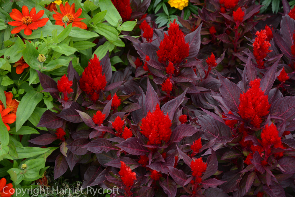 Celosia 'Smart Look Red'