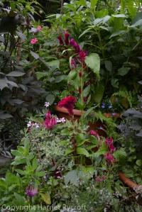 Celosia'Flamingo Feather' in pots