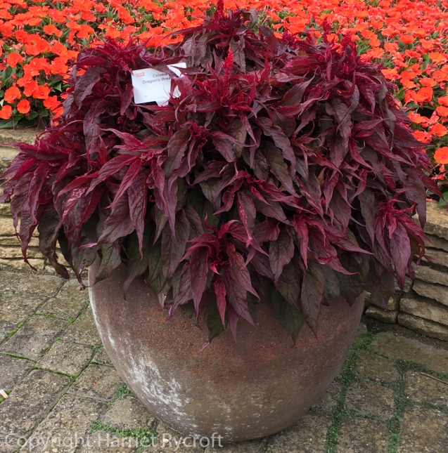 Celosia 'Dragon's Breath in a pot at Ball Colegrave