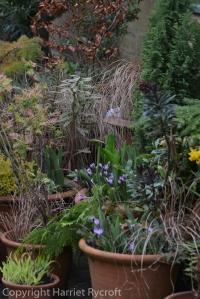 Crocus sieberi 'Spring Beauty' in flowerpots