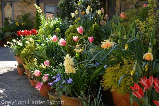 Spring bulbs in pots