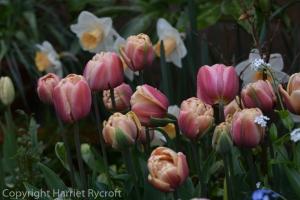 Tulip La Belle Epoque, Narcissus Salome
