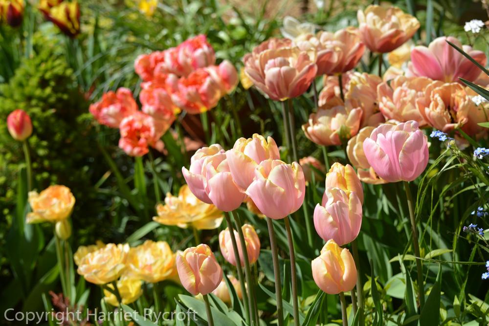 Tulips in pots, peach tones