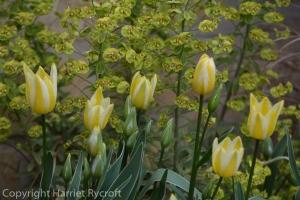 Tulip 'Antoinette' and Euphorbia 'Ascot Rainbow' in a flowerpot