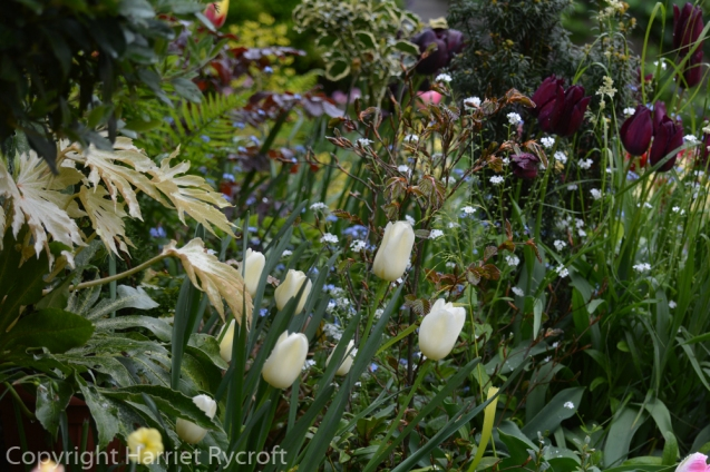 Tulip City of Vancouver and Fatsia Spider's Web in a container