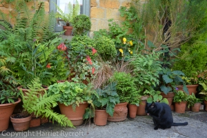 flowerpots,shade planting,cat,Harriet Rycroft