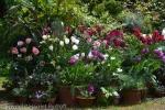 spring bulbs in pots,Harriet Rycroft